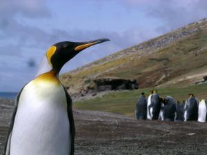 Oswartzkungspingvin